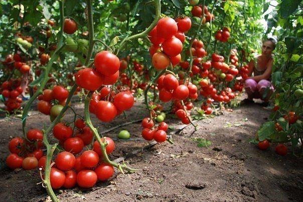 Кефир – защитник томатов.