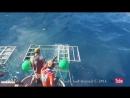 Белая акула проникла в клетку с водолазом