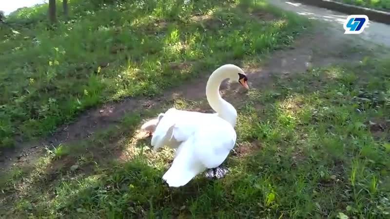 Лебедь-вдовец из Гатчинского парка