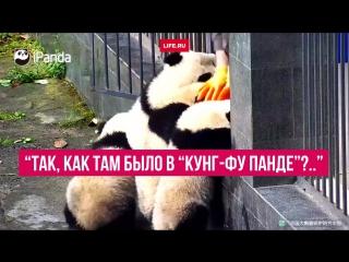 """Панды, которые затеяли """"побег из шоушенка"""""""