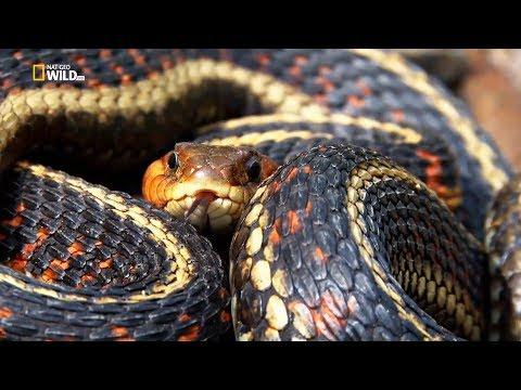 Nat Geo Wild: Прирождённые монстры. Тигровая змея (1080р)