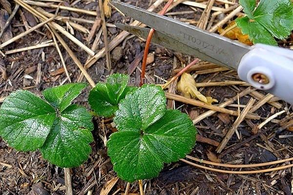 Удалять ли усы у земляники, обрезать листья