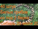 Белые грибы Из под 2 берез 42 белых грибов Поход в лес ищем грибы по запаху сбор грибов