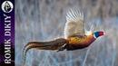 Охота на фазана Слом погоды 9 11 ноября 2018г
