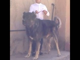 Biggest living sarabi dog(persian mastiff) in iran