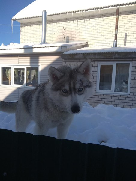 Помогите найти собаку, сибирская хаски, потерялась 2 дня назад. Иванов