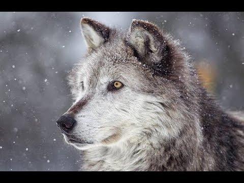 Omul lup - Shaun Ellis trăiește cu o haită, se hrănește ca un lup și le vorbește animalelor!
