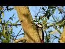 Пёстрый дятел (нем. Buntspecht) (анг. Woodpecker)
