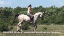 Продажа лошадей арабской породы конефермы Эквилайн, тел., WhatsApp 79883400208 (ВАЦЛАВ 2016г.р.)
