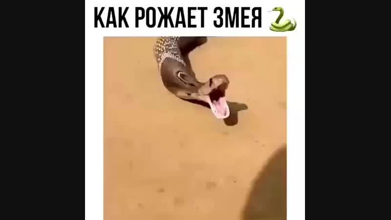 Как рожает змея