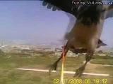 Птица атакует любительский радиоуправляемый планер)