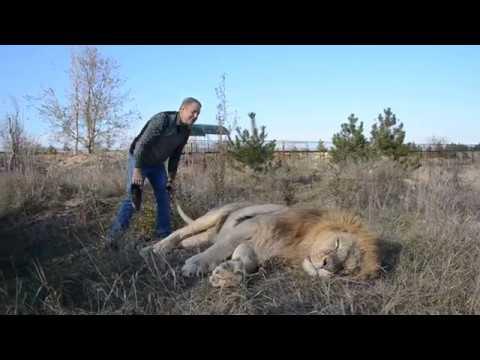 ПОПРОБУЙ ПОВТОРИ Как поднять 300 килограммового льва !