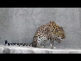 Подозрительный манул из Московского зоопарка не верит, что пришла весна