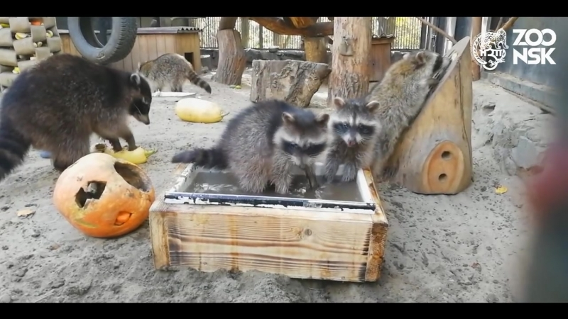 11.10.18 Малыши Еноты подросли. Новосибирский зоопарк имени Р.А. Шило