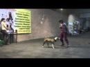 Дрессировка стаффорда и питбуля (трюки) | Pitbull training (tricks)
