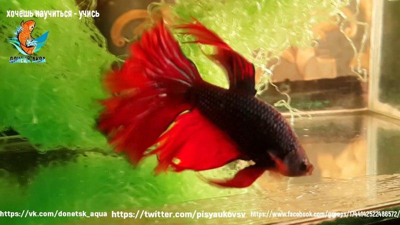 Betta splendens, рыбка петушок, аквариумистика для всех, аквариумные рыбки