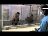 Двум обезьянам дали работу (собирать камни) естественно за зарплату в виде еды. Обезьяне в левой клетке предстояло собирать только один камушек, за что она получала кусочек огурца. Обезьяне в правой клетке поручили собирать по два камушка, в следствии чего она получала виноград. Этих обезьян поместили рядом (предварительно натренировав на работу) и заставили поработать первую. Она взяла привычную ей монету-огурец и сжевала как ни в чем не бывало. НО как только эта же самая обезьяна увидела, что ПРАКТИЧЕСКИ