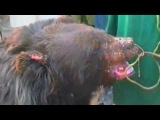 Собаки против черного медведя в Пакистане 18+
