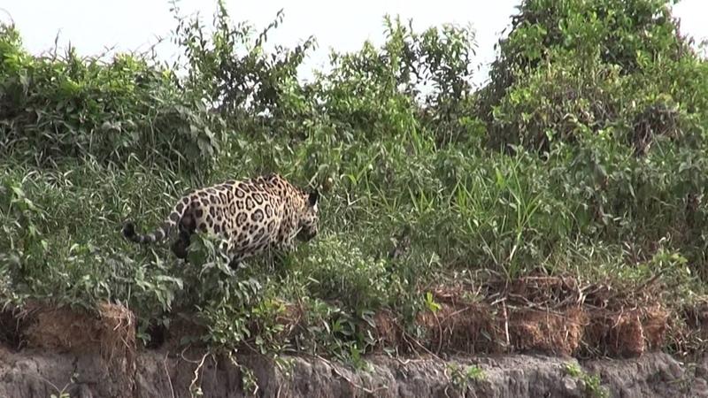 Ягуар преследует капибара