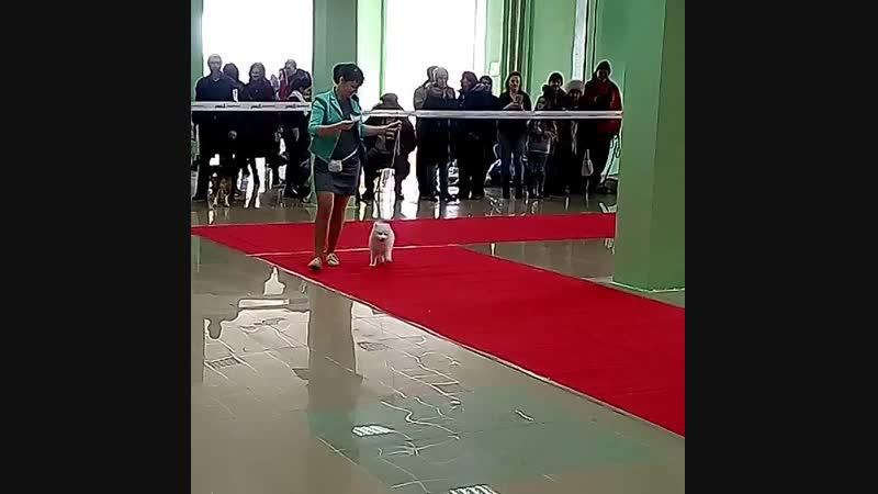 Шпиц Форти, первая выставка