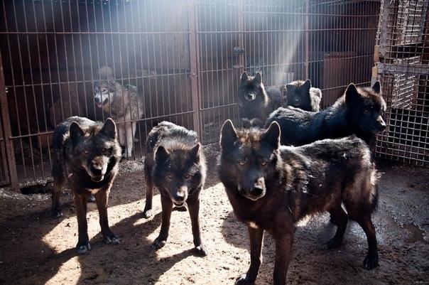 Почему приходят в города лесные обитатели и опасны ли они Жителям столицы недавно пришлось и пугаться, и удивляться на улицах Минска были замечены волк и лиса, а возле одного из детских садов
