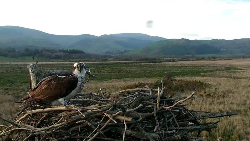 Dyfi Osprey Project Wales Live Stream