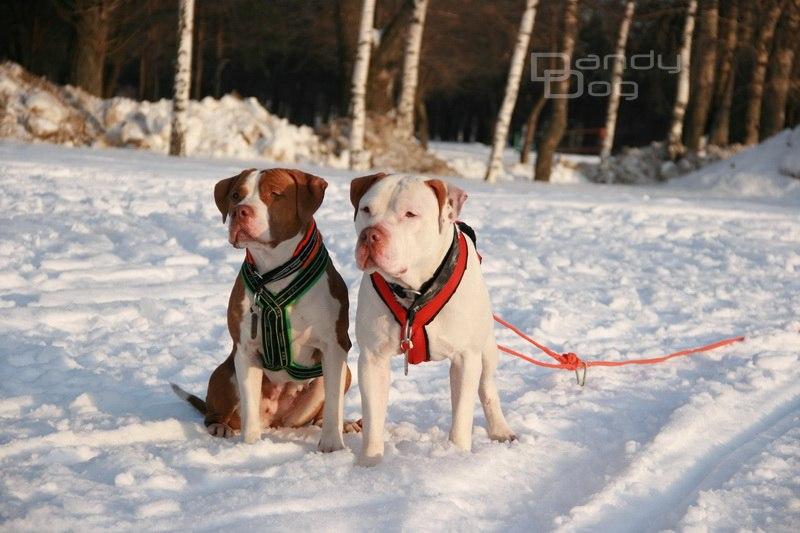 шлейка ездовая для собаки
