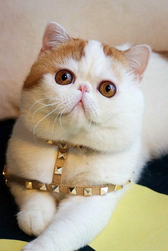 шпиц и кот фото