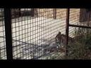 тигрицы Фрося и Яна после драки