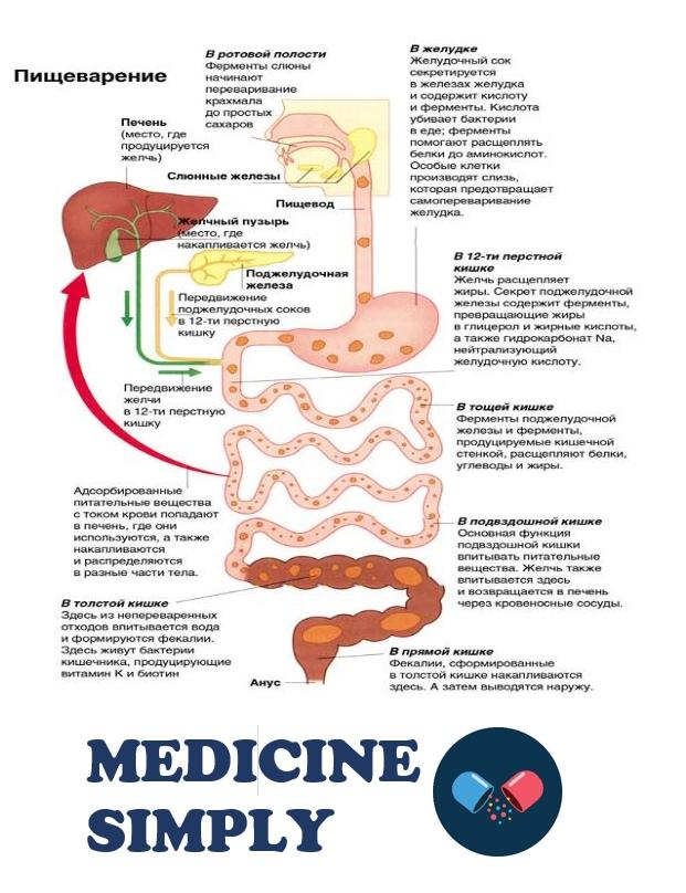 Процесс пищеварения, где начинается пищеварение, отделы пищеварения, органы пищеварения, пищеварение схема скачать
