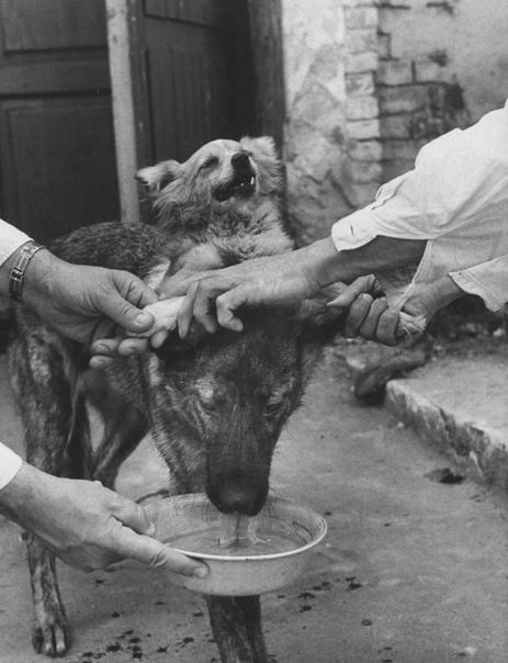 Демихов и его двухголовые собаки Невероятно интересная история про эксперименты по трансплантологии, которые ставились в СССР около 60 лет назад.Первым в мире он создал работоспособный протез