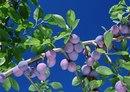 ...WinWP.net - Самая большая и бесплатная коллекция Обоев на рабочий стол. - природа, ягоды (Изображение 36540) .