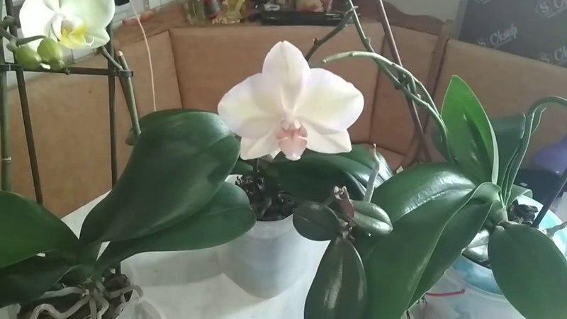 Старые цветоносы орхидей! Я не отрезала их! Результат!
