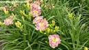 Цветение сортового лилейника BAREFOOT BAY в саду