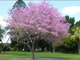 LUAR BIASA!! Inilah 5 Manfaat Pohon Tabebuya