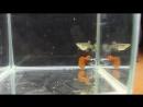 Guppy Dumbo platinum red tail