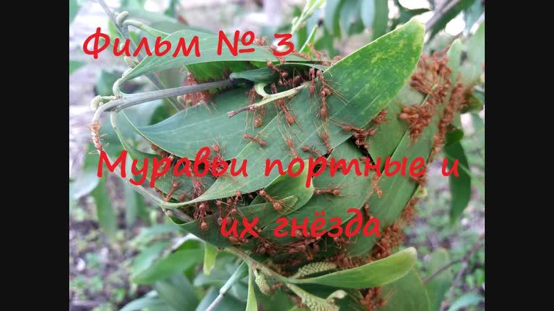 Фильм № 3 Муравьи портные и их гнёзда