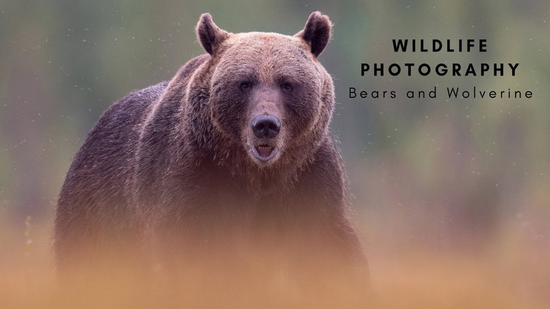 Wildlife Photography BEARS and WOLVERINE The travel to Finland