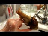 Ручная улитка ахатина купается в раковине  Achatina fulica