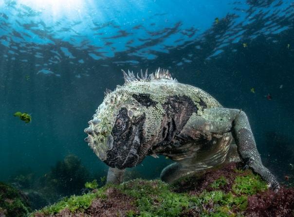 Морской Дракон, или просто морская игуана Галапагосских островов.