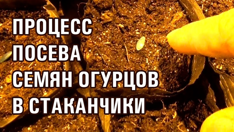 ПРОЦЕСС ПОСЕВА СЕМЯН ОГУРЦОВ В СТАКАНЧИКИ (30-11-2018)