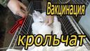 Вакцинация крольчат прививаю от вгбк-2