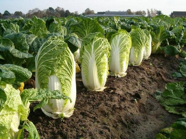Выращивание пекинской капусты.