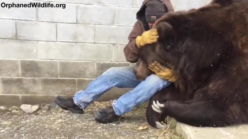 Ветеринар лечит медведя «обнимашками»