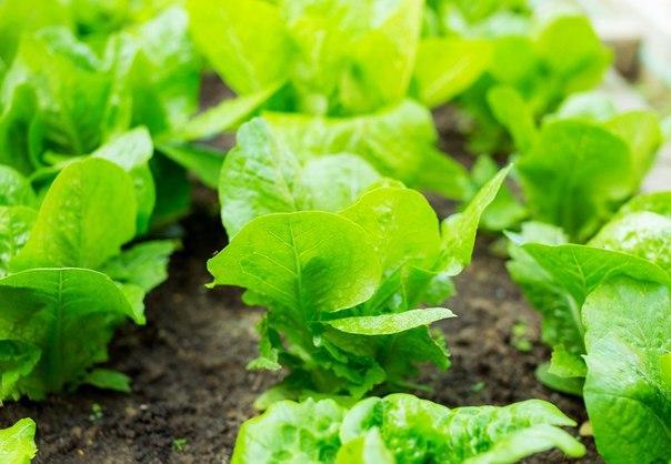 Рекомендуемые овощные растения для повторных посевов и посадок