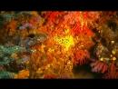 Corallium_rubrum - красный коралл Портофино Море