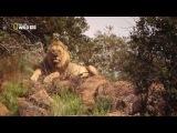 Анатомия крупнейших животных: Большие кошки (3 из 3)