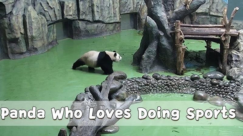 Panda Who Loves Doing Sports   iPanda