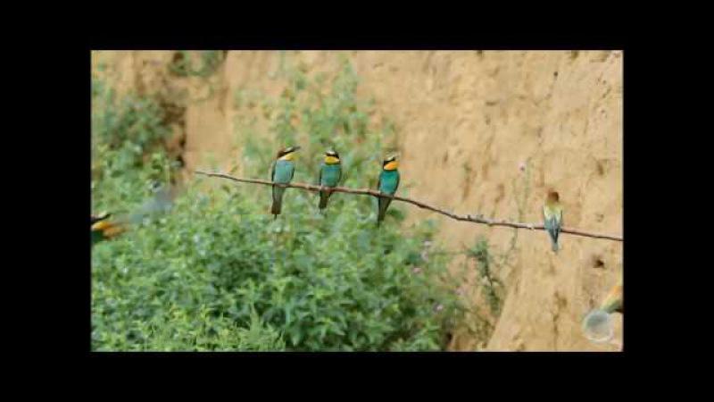 European Bee-eater Золотистая щурка Merops apiaster