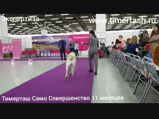 14 октября 2018 Выставка собак в Тюмени, эксперт Абракимов Ш.М.ТИМЕРТАШ САМО СОВЕРШЕНСТВОдочь Леди и Эрика (Тимерташ Железная